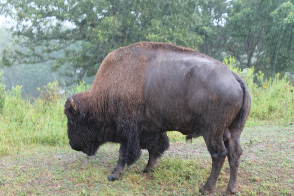 Bison Land Between the Lakes