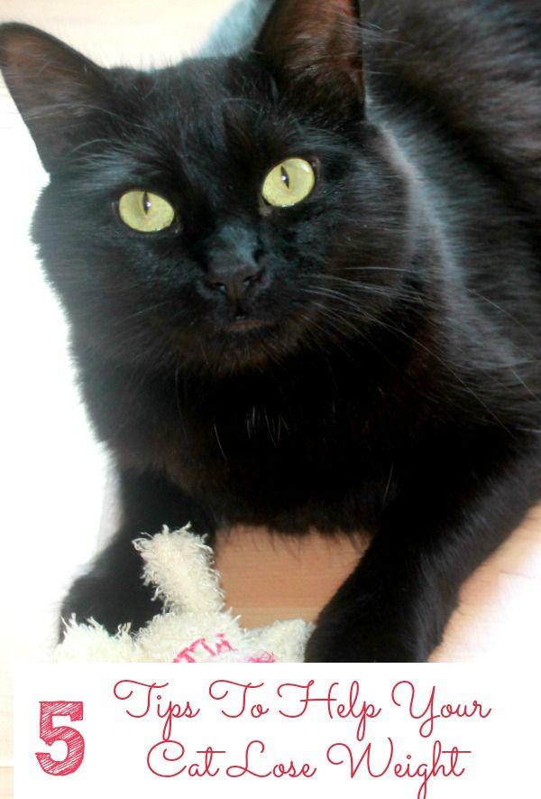 long haired tuxedo cat
