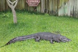 caiman-at-alligator-adventure--compressor