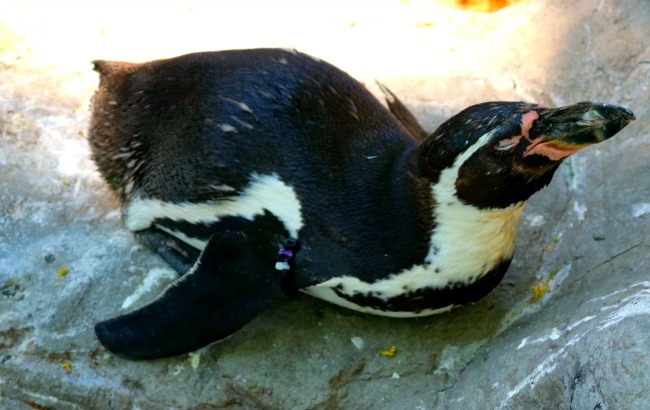 Penguin at zoo