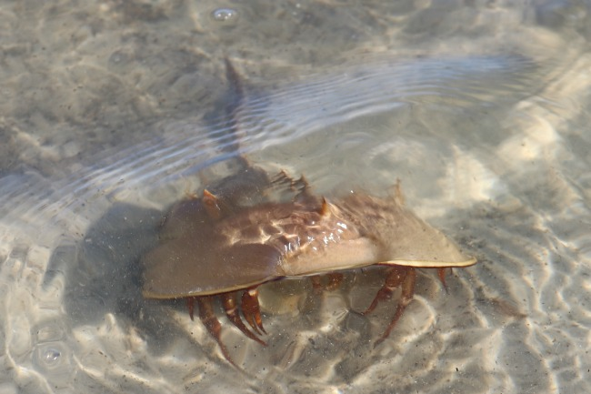 Check out the beach for cool finds like this Horseshoe Crab.