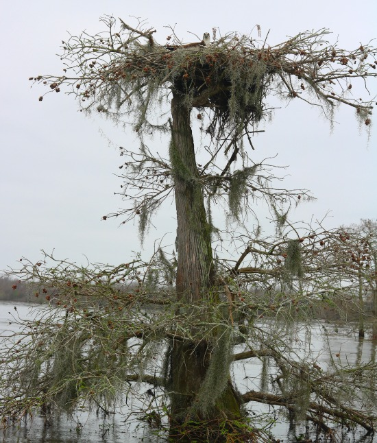 Alligators & Ospreys: Atchafalaya Basin - Simply Southern Mom